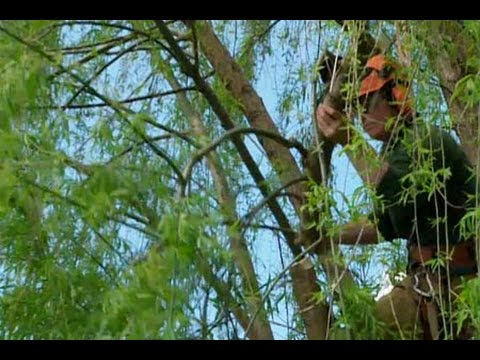 How to Prune a Large Tree – This Old House